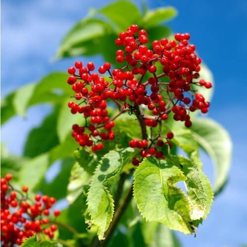 Sureau rouge à grappes (Sambucus Racemosa)