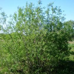 Saule des vanniers (Salix Viminalis)