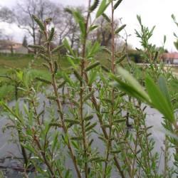 Saule pourpre (Salix Purpurea)