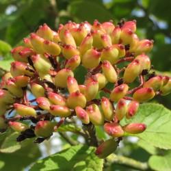 Viorne flexible (Viburnum Lantana)
