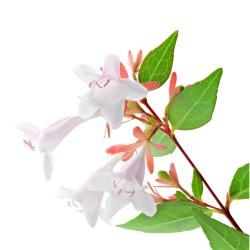 Abelia (Abelia Grandiflora)