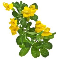 Arbre aux pois - Acacia jaune (Caragana Arborescens)