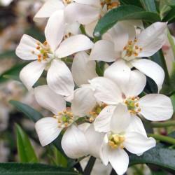 Oranger du Mexique (Choisya Ternata)