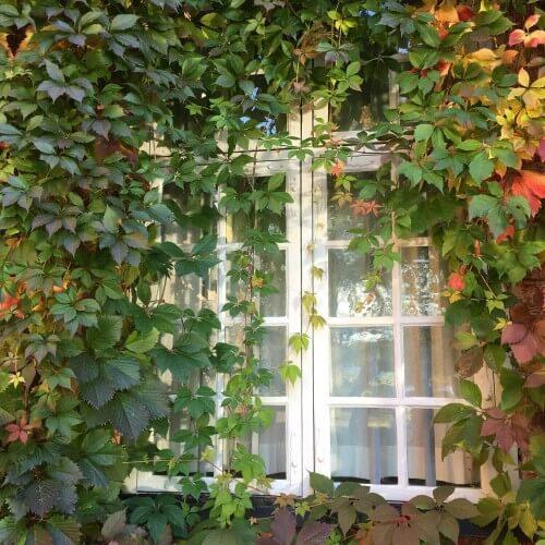 Vigne vierge commune (Ampelopsis Quinquefolia)