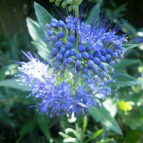 Caryopteris 'Grand Bleu'