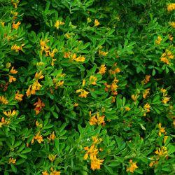 Luzerne arborescente (Medicago Arborea)