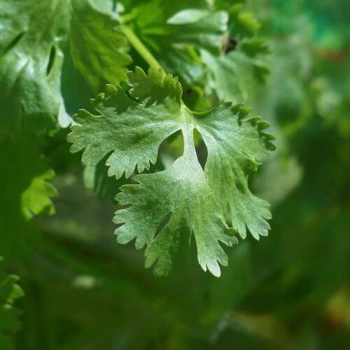Coriande (Coriandrum Sativum)