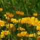 Anthemis Hybrida 'Kelwayi'