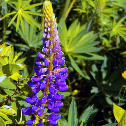 Lupin Bleu - Lupinus Polyphyllus Blue