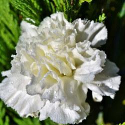 """Oeillet Mignardise """"Dianthus Double White"""""""