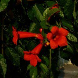 Bignone 'Atropurpurea'