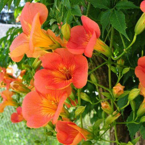 Bignone 'Grandiflora'
