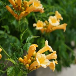 Bignone 'Yellow Trumpet'