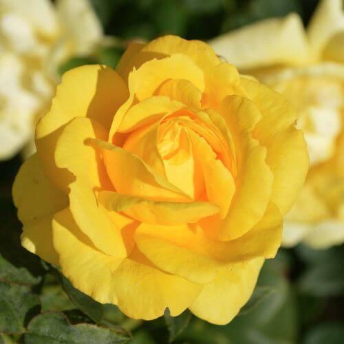 Rosier 'All Gold'