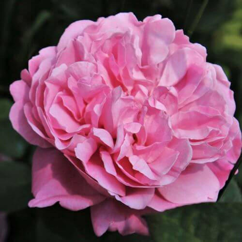 Rosier 'Pink Cloud'