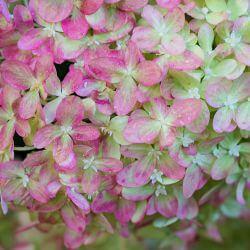 Hortensia Paniculé 'Pink Diamond'