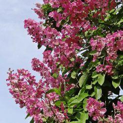 Lilas des Indes 'Petite Red'