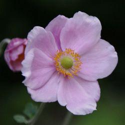 Anémone 'Königin Charlotte' (Anemone Hybrida 'Königin Charlotte')