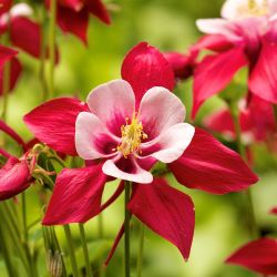 Ancolie 'Crimson Star' (Aquilegia 'Crimson Star')