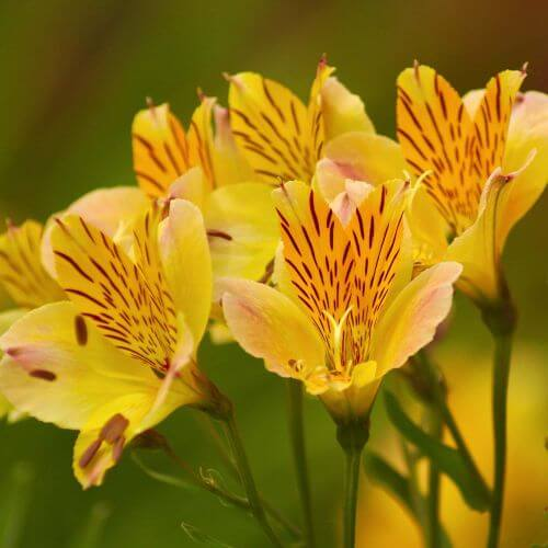 Alstroemère 'Layon' (Alstroemeria 'Layon')