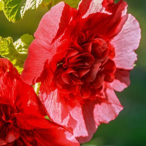 Rose Trémière 'Double Rouge' (Alcea Rosea Chater's)