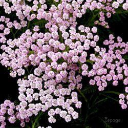 Achillée Millefeuille 'Lilac Beauty' (Achillea Millefolium)
