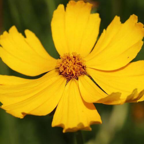Coréopsis Lancéolé 'Goldfink' (Coreopsis Lanceolata)