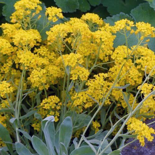 Corbeille d'Or (Aurinia Saxatilis)