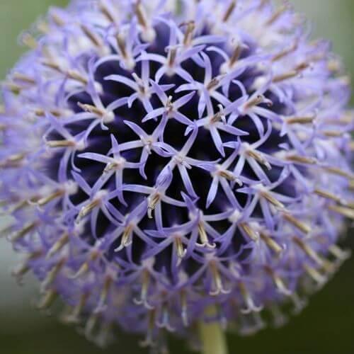 Boule Azurée ou Oursin 'Taplox Blue' (Echinops Bannaticus)