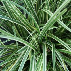 Laîche Japonaise 'Silver Sceptre' (Carex 'Silver Sceptre')