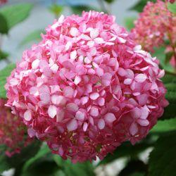 Hortensia 'Magical® Pinkerbell' (Hydrangea Arborescens 'Magical® Pinkerbell')
