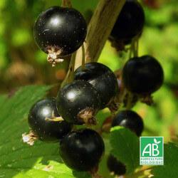 "Cassissier ""Andega"" (Ribes Nigrum ""Andega"")"