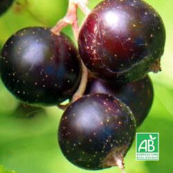 """Cassissier """"Noir de Bourgogne"""" (Ribes Nigrum """"Noir de Bourgogne"""")"""