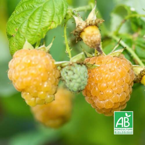 Framboisier Blanc 'Fall Gold' (Rubus Idaeus 'Fall Gold')