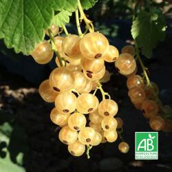 Groseillier 'Versaillaise Blanche' (Ribes Rubrum 'Versaille Blanche')