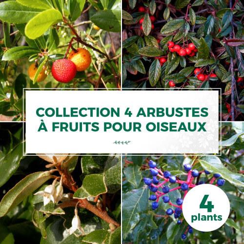 Collection 4 Arbustes à Fruits pour Oiseaux