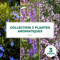 Collection 3 Plantes Aromatiques