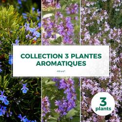 Collection 3 Plantes Aromatiques