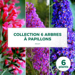 Collection 3 Arbres à Papillons (Buddleia Davidii)
