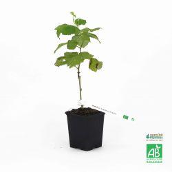"""Hybride mûrier/framboisier (Rubus """"Loganberry"""")"""