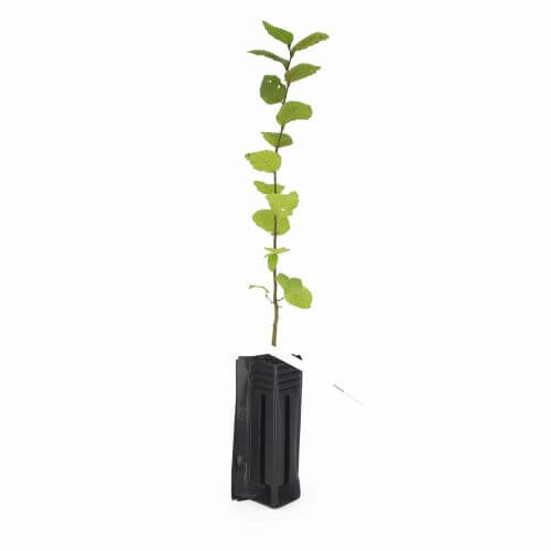 Charme Commun ou Charmille (Carpinus Betulus)