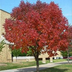 Frêne d'Amérique (Fraxinus Americana)