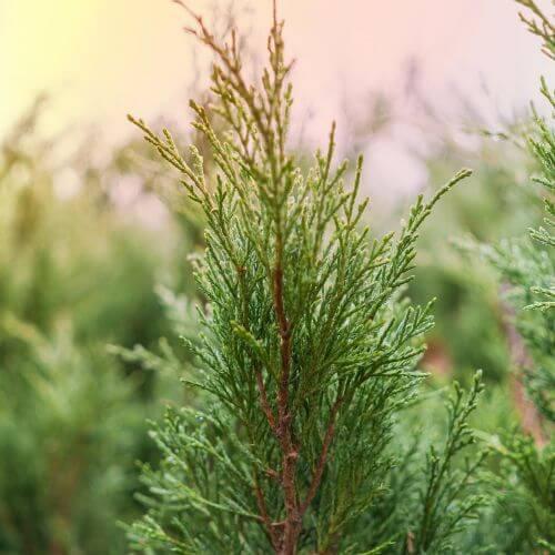 Genévrier Skyrocket (Juniperus Scopulorum Skyrocket)