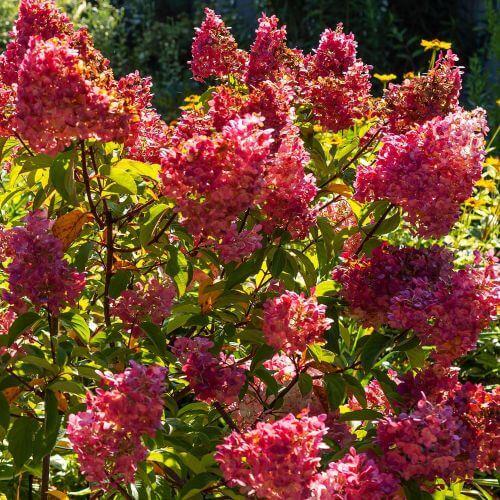 Hortensia Paniculé 'Diamant Rouge' (Hydrangea Paniculata)