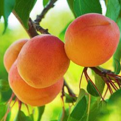 Abricotier Précoce De Saumur - Prunus Armenica