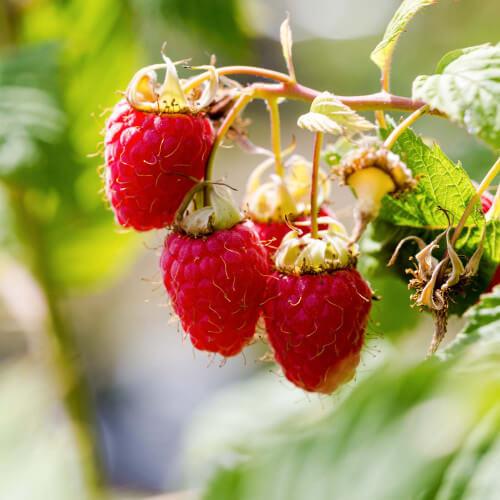 "Framboisier rouge ""Malling Promise"" (Rubus Idaeus ""Malling Promise"")"