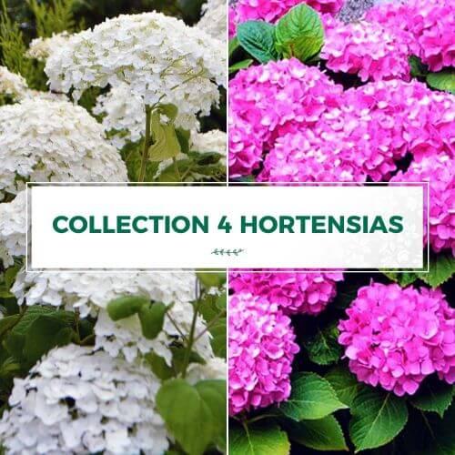 Collection 4 Hortensias (Hydrangea Arborescens)
