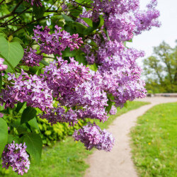 Lilas Commun 'Belle de Nancy' (Syringa Vulgaris)