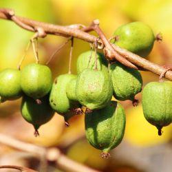 Kiwi 'Kolomikta'
