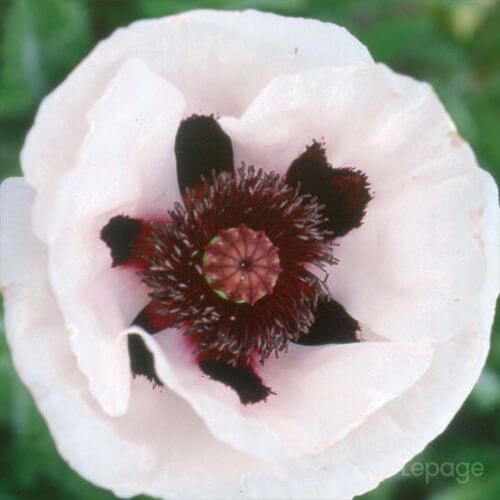 Pavot d'Orient  'Perry's White' (Papaver Orientale 'Perry's White')